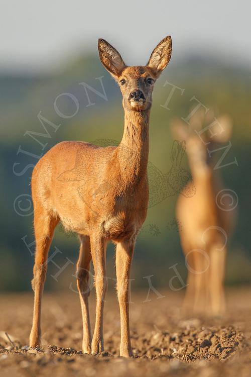 Western Roe Deer (Capreolus capreolus) adult female on ploughed field with male in background, Norfolk, UK.