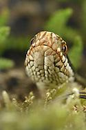 Adder - Vipera berus