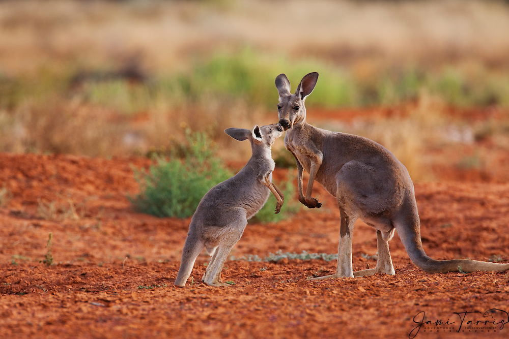A female and joey red kangaroo (Macropus rufus) affectionately touching and kissing,  Sturt Stony Desert,  Australia