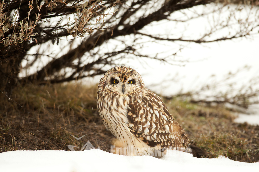 Short Eared Owls spend a lot of time on the ground they nest in a depression on the ground and rest standing on the ground in the middle of the day.