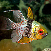 Tropical Pacific Cardinalfish