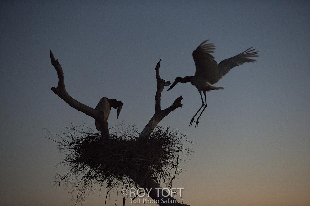 Nesting Jabiru Stork (Jabiru mycteria), Pantanal, Brazil