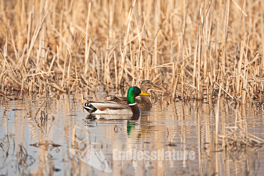 A hen and drake Mallard duck rests close to the cattails in a northern Utah wetland.