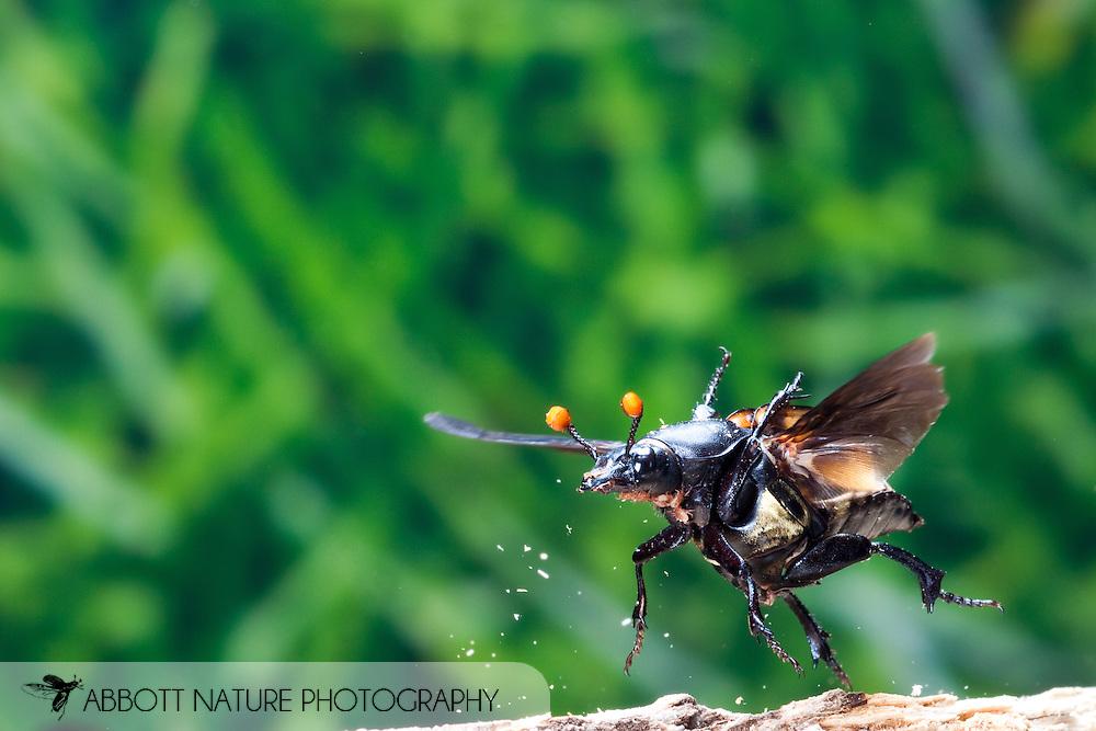 Nicrophorus carolinus (Burying Beetle, Sexton Beetle, Carrion Beetle) in flight<br /> TEXAS: Lamar Co.<br /> Camp Maxey National Guard Facility in Paris<br /> 27.August.2009<br /> J.C. Abbott