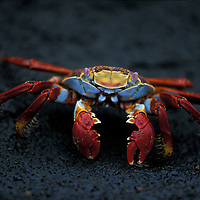 Ecuador, Galapagos Islands, Sally Lightfoot Crab (Graspus graspus) scuttles across black lava rock on Floreana Island
