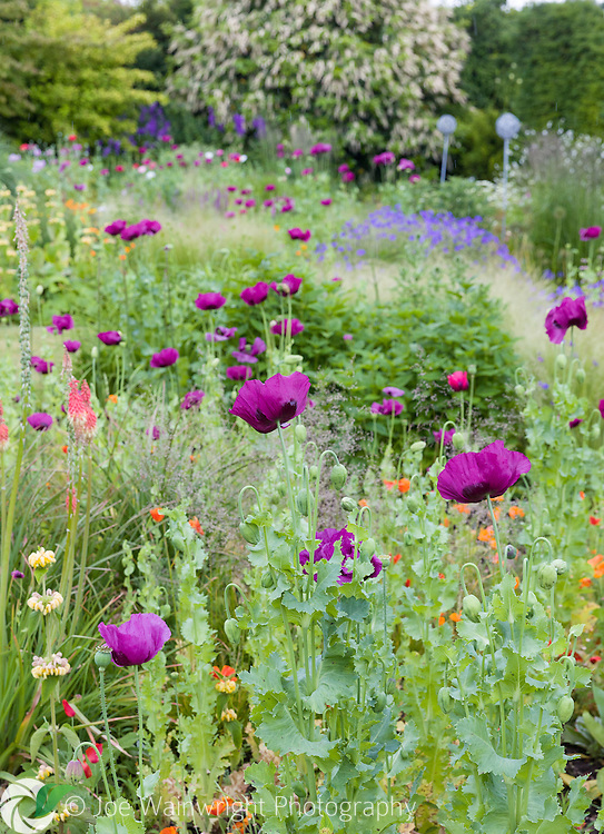 Poppies in a herbaceous border at Bluebell Cottage Gardens, Cheshire - photographed in July