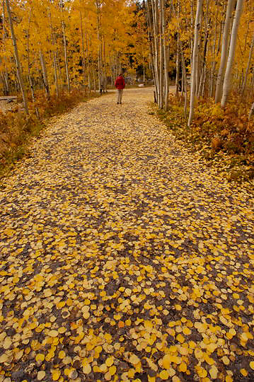Person walking down path covered with Aspen leaves during fall. Bright yellow leaves. Colorado. Fall.
