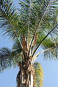 palm tree with a blue sky background