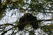 A bald ealge (Haliaeetus leucocephalus) stretches out its wings while perched over the Skagit River in the North Cascades of Washington state. Hundreds of bald eagles winter along the river to feast on spawned salmon.