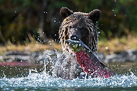 Grizzly bear with a sockeye salmon, British Columbia, Canada