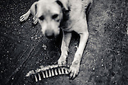 A dog chewing on animal bones in the streets of downtown Yangon, Myanmar, 17th May 2013
