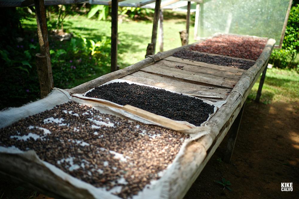 Coffee beans sun drying