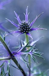 Eryngium bourgati 'Picos Blue' - Sea Holly