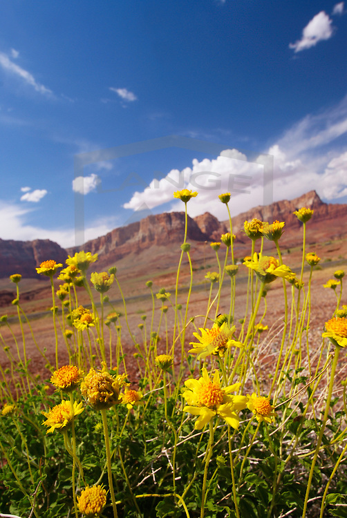 wild flowers and the vermillion cliffs national monument.  page, arizona.