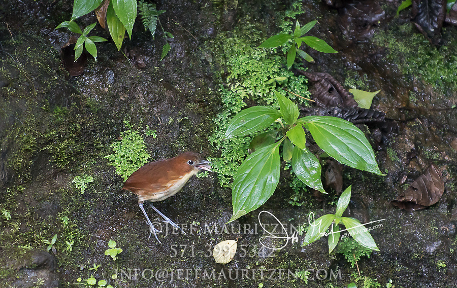 A  yellow-breasted antpitta opens up its bill and calls out.