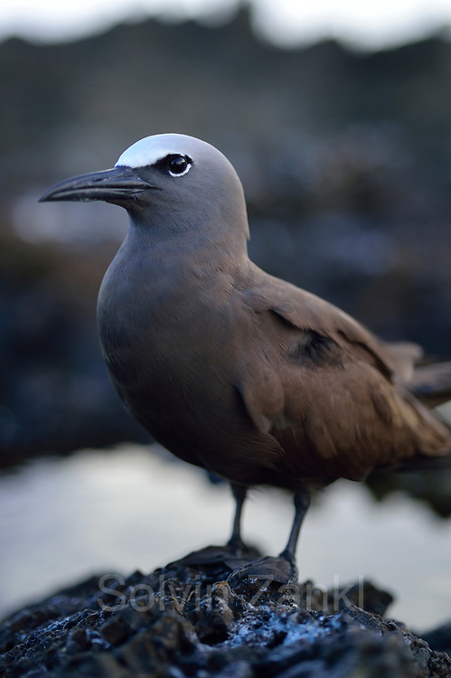Brown noddy (Anous stolidus) Central equatorial Atlantic Ocean, Saint Peter and Saint Paul Archipelago, Brazil #STP17 [first published through bioGraphic, a program of the California Academy of Sciences] |