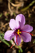 IFRI, MOROCCO - October 28th 2015 - Saffron flower (crocus sativus) in the early morning sun light at a saffron farm in Ifri, Sirwa Mountains, Souss Massa Draa region of Southern Morocco