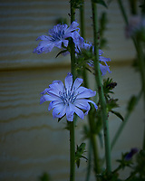 Blue Chicory. Image taken with a Nikon Df camera and 300 mm f/4 lens