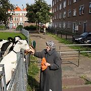 Nederland Den Haag 31 augustus 2008 2080831 Foto: David Rozing..Moslima geeft geiten en koe eten in achterstandswijk Schilderswijk. Moslims mogen volgens de Islam geen brood etc weggooien. .De schilderwijk is een van de 40 wijken van Vogelaar. Deze lijst van 40 Nederlandse probleemwijken is op 22 maart 2007 door Minister Ella Vogelaar van Wonen, Wijken en Integratie bekend gemaakt. De minister duidde deze wijken aan met prachtwijken. In deze wijken zullen gedurende de kabinetsperiode Balkenende IV extra investeringen worden gedaan gezien stapeling van sociale, fysieke en economische problemen die zich daar voordoen..De wijk is in de tweede helft van de 19e eeuw gebouwd. Het is een van de armste wijken in Nederland. Zo'n 87% van de 33.123 geregistreerde bewoners is van niet-Westerse afkomst -- met name Turks, Surinaams en Marokkaans..De Schilderswijk is rijk aan verschillende culturen die boven en naast elkaar leven. Er is veel keuze in voedselaanbod in cafés, kleine restaurants, bars en supermarkten. Er is de Haagsche markt en er zijn winkels waarin verschillende culturen hun deur openen om iets nieuws te verkopen, zoals sieraden- en kledingwinkels. Allerlei stedelijke activiteiten liggen op loopafstand van de Schilderswijk. De Haagse binnenstad ligt 5 minuten lopen vanaf de rand van de Schilderswijk. Tram en ander openbaar vervoer zijn te bereiken op 5 tot 10 minuten loopafstand...Foto David Rozing