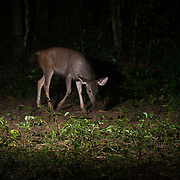 The sambar (Rusa unicolor) is a large deer native to the Indian subcontinent, southern China, and Southeast Asia that is listed as Vulnerable on the IUCN Red List since 2008. Populations have declined substantially due to hunting, and industrial exploitation of habitat.