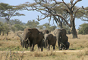 A herd of elephants. Photographed in the wild in Kenya