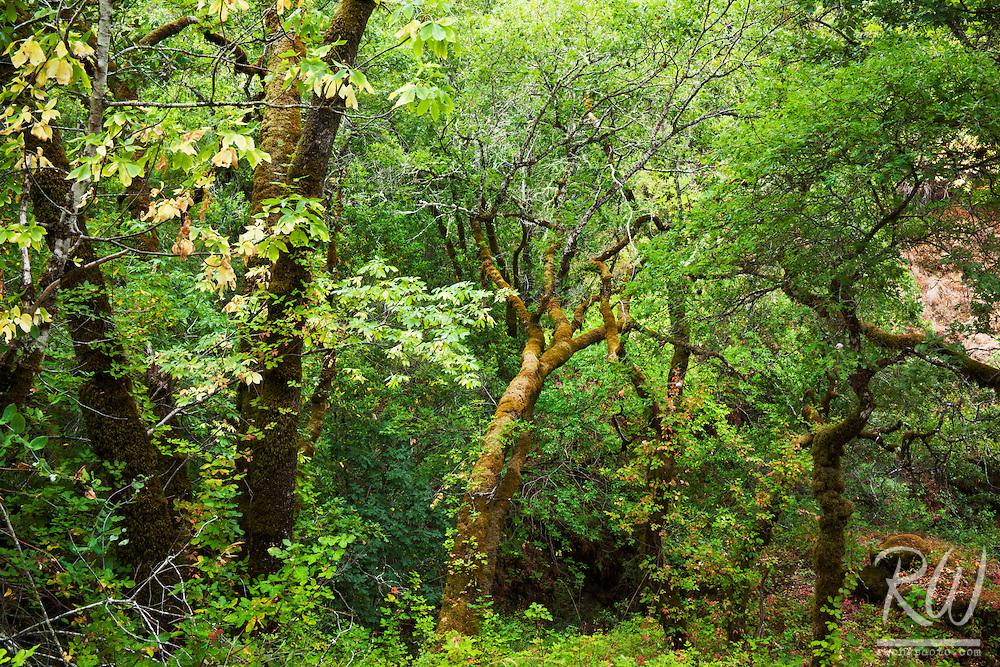 Cascade Canyon Open Space Preserve Forest Scene, Fairfax, California
