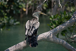 A male Australasian darter (Anhinga novaehollandiae) displays its magnificent plumage on a low mangrove branch in Dampier Creek, Broome.