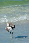 Willet, Tringa semipalmata, one of the shorebirds, preening on the beach shoreline at Captiva Island, Florida USA
