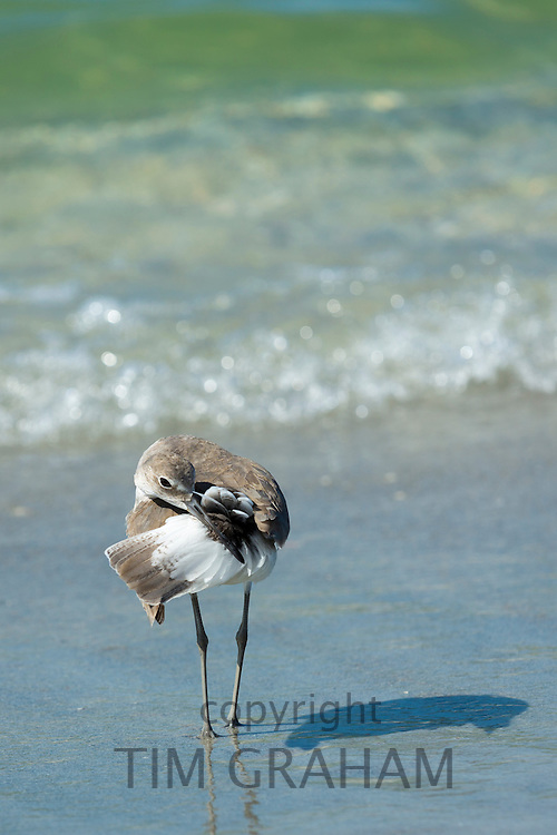 Willet, Tringa semipalmata, one of the shorebirds, preening on the beach shoreline at Captiva Island, Florida USA