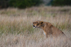 A female lioness (Panthera leo) calling vocally to her pride, Masai Mara, Kenya