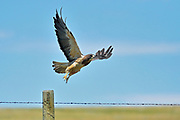 Swainson's hawk Swainson's hawk (Buteo swainsoni)  taking flight after leaving fence post on prairie<br />