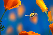 A bumble bee (Bombus sp.) flying amongst california poppies. Sauvie Island, Oregon.
