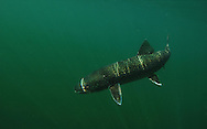 Lake Trout<br /> <br /> PAUL VECSEI/ENGBRETSON UNDERWATER PHOTO