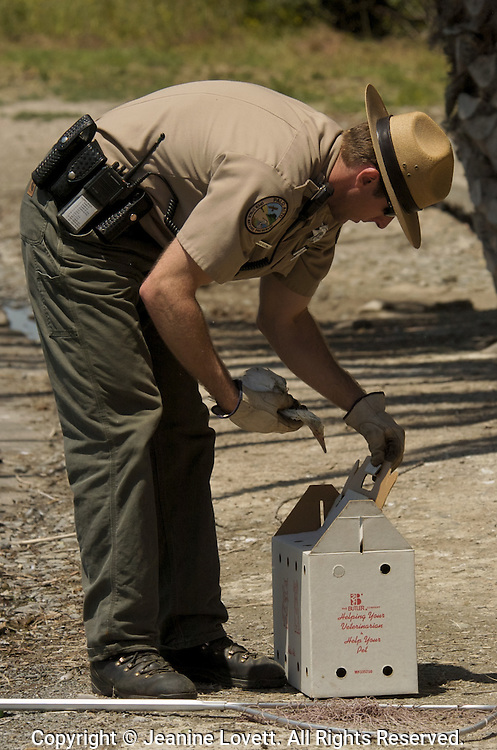 Park Ranger rescues a snowy egret chick that has fallen out of its nest so that it can be cared for and then realized back into the wild.