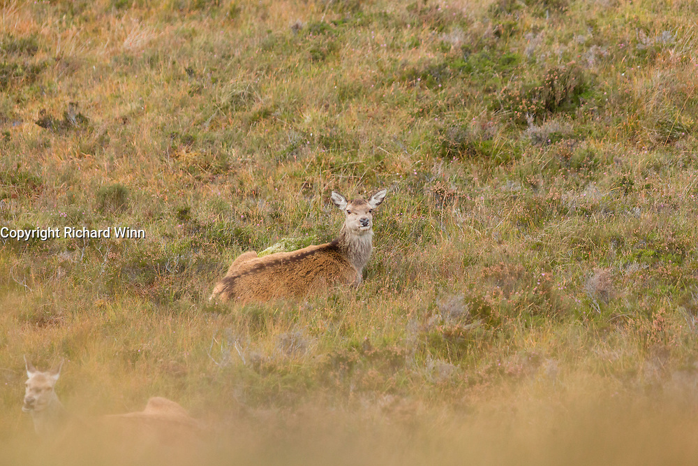 Red deer resting in a mountain gulley in Strathconon, in the Scottish Highlands.