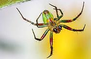 Alberto Carrera, Narural Colors Exhibition, Spider, Guadarrama National Park, Segovia, Castilla y León, Spain, Europe.