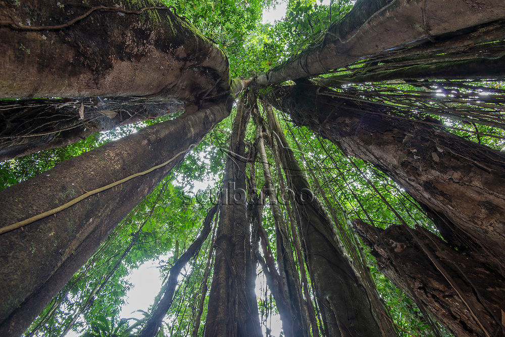 View looking up from inside a strangling fig tree in the forest, Danum Valley, Sabah, Malaysia.