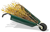 green allsop cart with yellow forsythia branches photographed on white