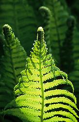 Unfurling spring foliage of Matteuccia struthiopteris. Shuttlecock fern