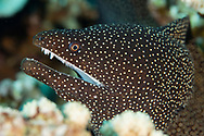 Whitemouth Moray, Gymnothorax meleagris, (Shaw & Nodder, 1795), Maui, Hawaii