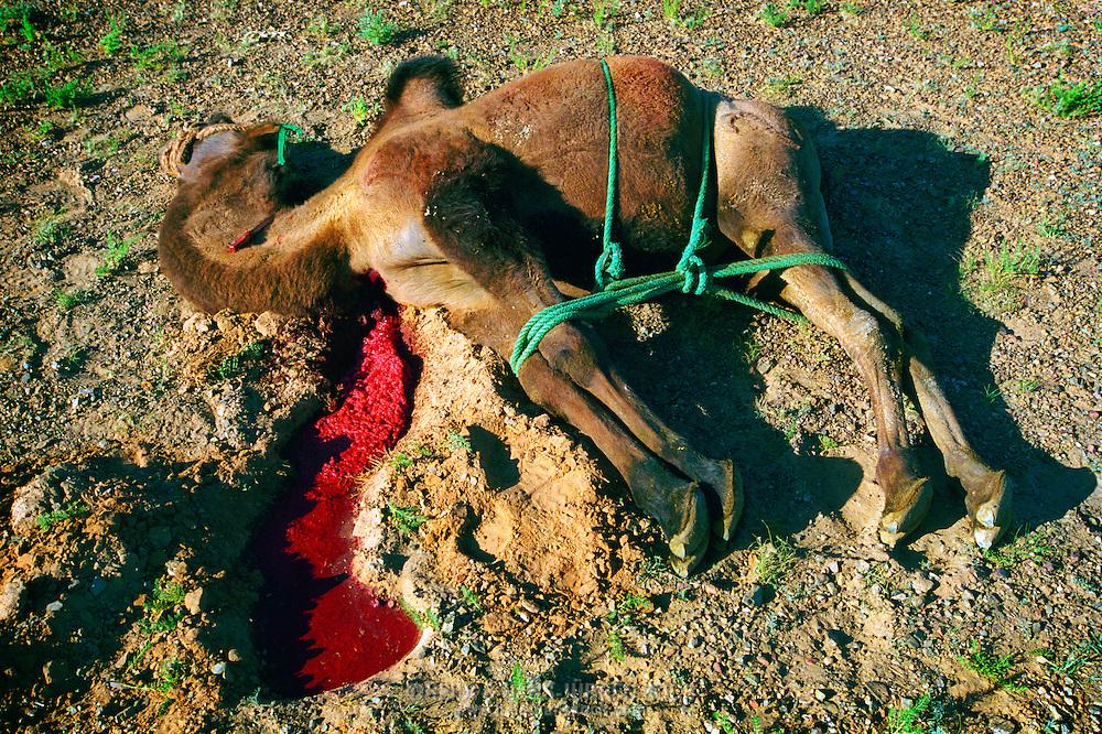 Mongolei, MNG, 2003: Schlachten eines Kamels (Camelus bactrianus) in der südlichen Gobi. Kamel liegt mit zusammengebundenen Beinen auf dem Boden, das Rückenmark ist durchtrennt, die Aorta ist geöffnet, Blut fließt in ein gegrabenes Loch im Boden. | Mongolia, MNG, 2003: Camel, Camelus bactrianus, slaughter of a camel, camel is laying on the ground in the middle of the Gobi, legs are tied up, spinal cord is already cut and the aorta is opened, blood is flowing into a digged whole in the ground, South Gobi. |