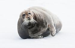 Bearded Seal in Spitsbergen, Svalbard