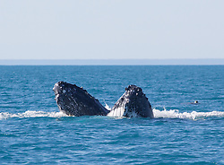 A pair of Humpback whales spyhop in the waters off Broome's Cable Beach as a turtle surfaces behind them.