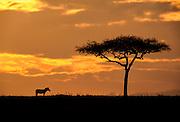 Sigle Zebra and Acacia tree at sunrise