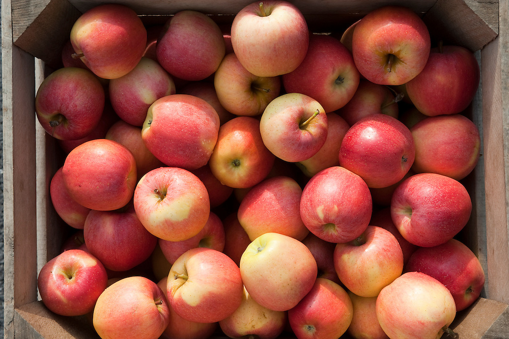 Gala Apples at Catoctin Mountain Orchard, Thurmont Maryland
