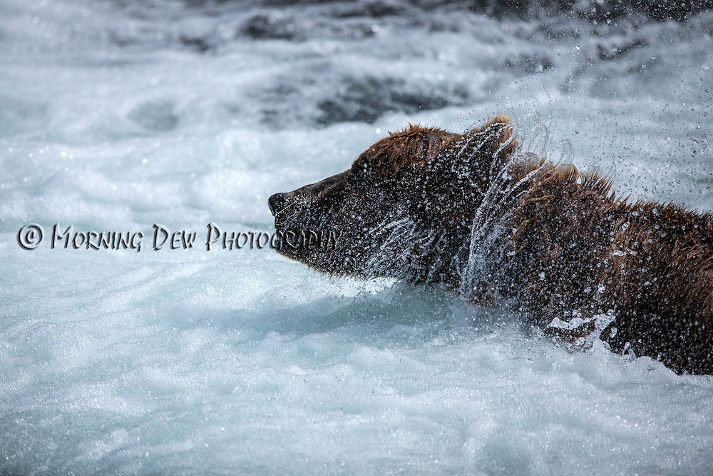 "A male brown bear shakes water off while fishing in the ""jacuzzi"" at the base of Brooks Falls, Katmai National Park"