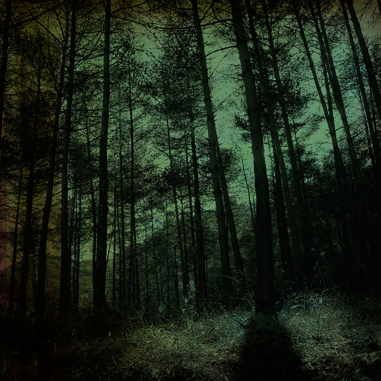 A dark wood with pine trees