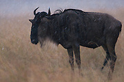 Wildebeest holds still faces with his back to the wind to avoid the rain in the face but risks becoming an easy meal for the lions.