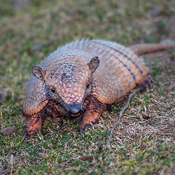 """Tatu-peba (Euphractus sexcinctus) fotografado em Corumbá, Mato Grosso do Sul. Bioma Pantanal. Registro feito em 2017.<br />