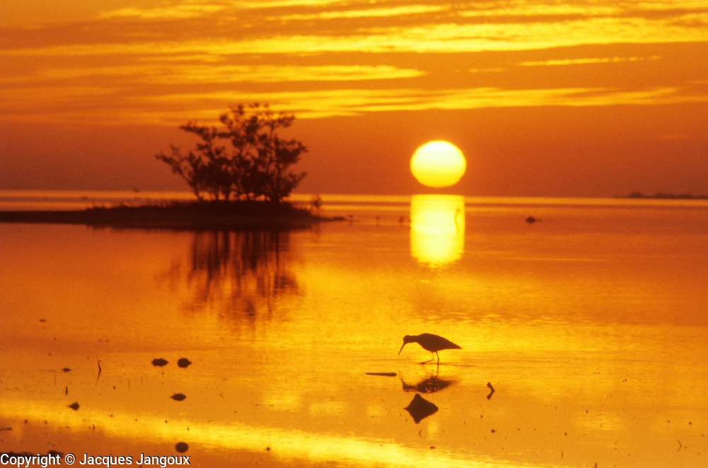 Wading bird at sunrise,  Everglades National Park, Florida, USA.
